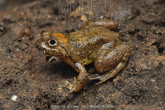 Seep Frog (Occidozyga baluensis), Bukit Sarang Conservation Area, Bintulu, Borneo, Malaysia  -  Ch'ien Lee