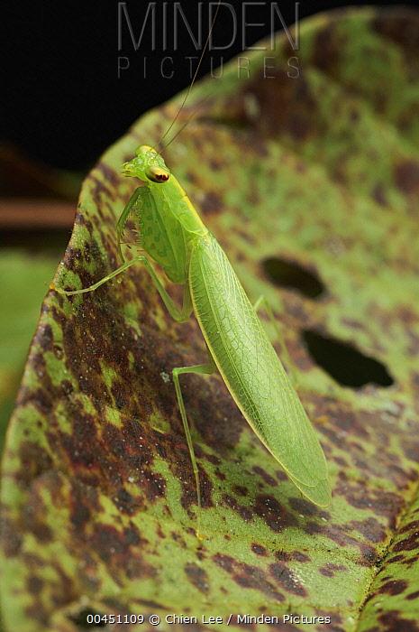 Mantid (Mantidae), Bukit Sarang Conservation Area, Bintulu, Borneo, Malaysia  -  Ch'ien Lee