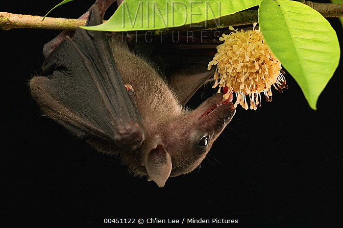 Lesser Dawn Bat (Eonycteris spelaea) feeding on nectar, Bukit Sarang Conservation Area, Bintulu, Borneo, Malaysia  -  Ch'ien Lee