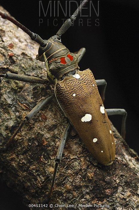 Long Horn Beetle (Batocera thomsoni), Lambir Hills National Park, Malaysia  -  Ch'ien Lee
