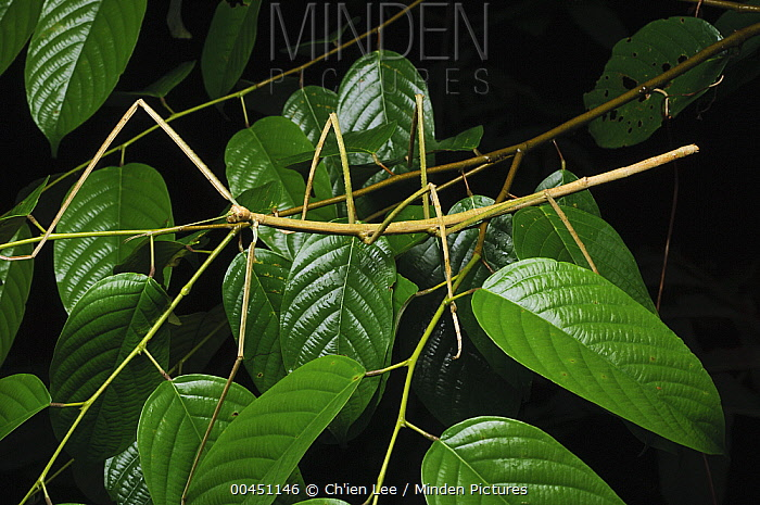 Stick Insect (Phobaeticus kirbyi), Lambir Hills National Park, Malaysia  -  Ch'ien Lee
