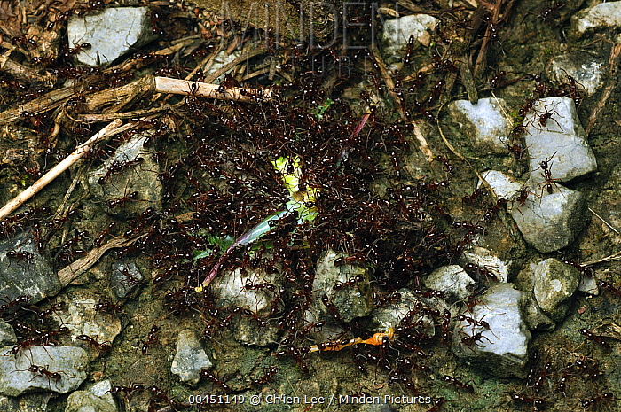 Army Ant (Leptogenys sp) group overwhelmimg and dismembering a hapless katydid, Lundu, Malaysia  -  Ch'ien Lee