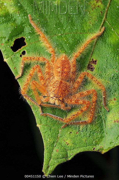 Giant Crab Spider (Sparassidae), Lundu, Malaysia  -  Ch'ien Lee