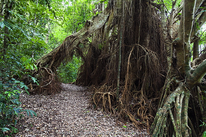 Spotted Fig (Ficus virens) roots, Atherton Tableland, Queensland, Australia  -  Konrad Wothe