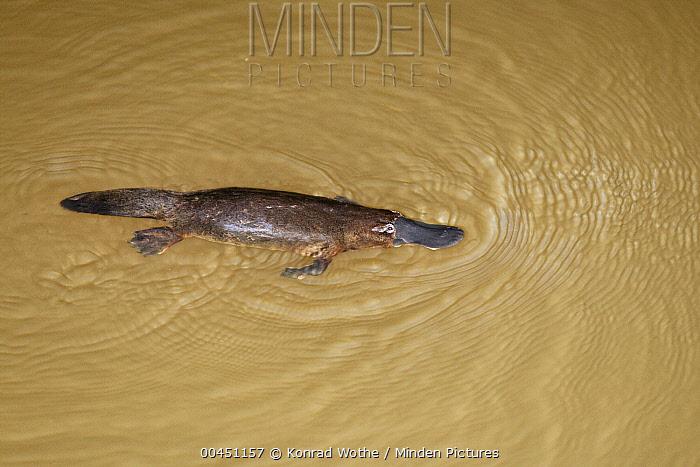 Platypus (Ornithorhynchus anatinus) swimming, Atherton Tableland, Queensland, Australia  -  Konrad Wothe