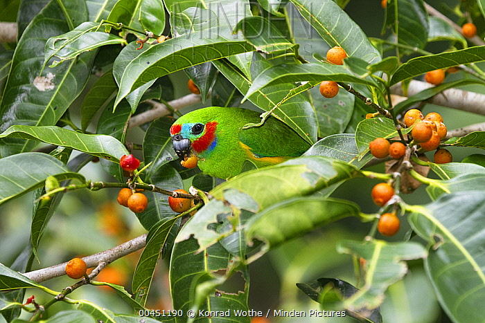 Double-eyed Fig-Parrot (Cyclopsitta diophthalma) feeding on figs, Daintree National Park, North Queensland, Queensland, Australia  -  Konrad Wothe