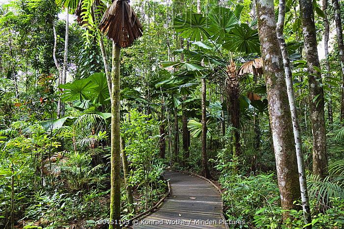Licuala Fan Palm (Licuala ramsayi) trees and boardwalk, Daintree National Park, North Queensland, Queensland, Australia  -  Konrad Wothe