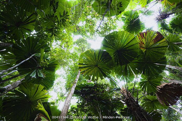 Licuala Fan Palm (Licuala ramsayi) group in rainforest, Daintree National Park, North Queensland, Queensland, Australia  -  Konrad Wothe