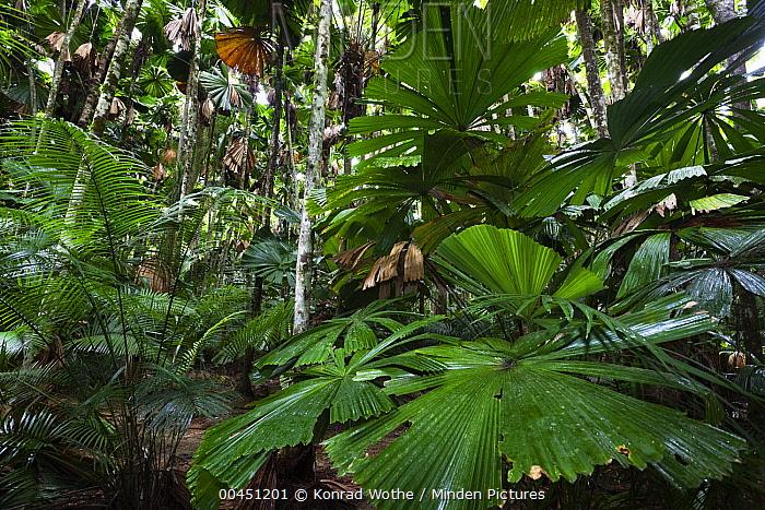 Licuala Fan Palm (Licuala ramsayi) leaves, Daintree National Park, North Queensland, Queensland, Australia  -  Konrad Wothe