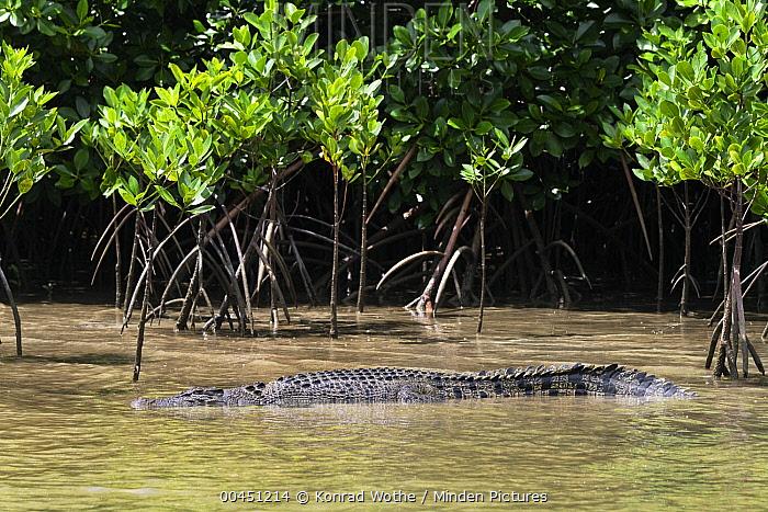 Saltwater Crocodile (Crocodylus porosus) in mangroves, Daintree National Park, Queensland, Australia  -  Konrad Wothe