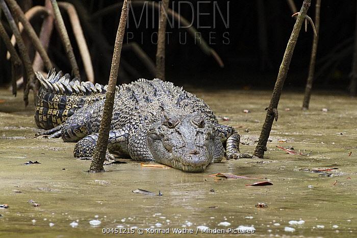 Saltwater Crocodile (Crocodylus porosus) on mudbank in mangroves, Daintree National Park, Queensland, Australia  -  Konrad Wothe