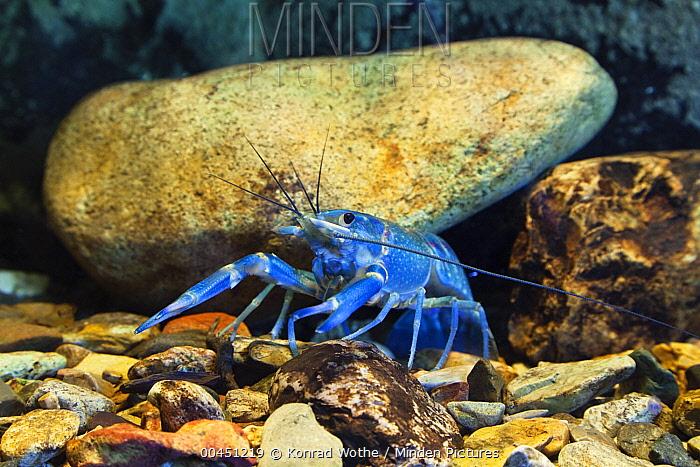 Australian Red Claw Crayfish (Cherax quadricarinatus), Daintree National Park, North Queensland, Queensland, Australia  -  Konrad Wothe