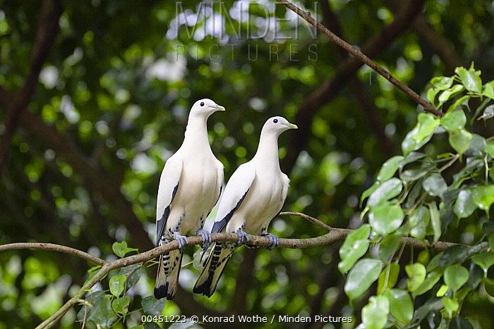 Torresian Imperial-Pigeon (Ducula spilorrhoa) pair, Atherton Tableland, Queensland, Australia  -  Konrad Wothe