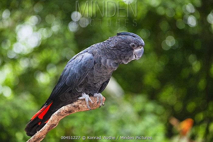 Red-tailed Black-Cockatoo (Calyptorhynchus banksii) male, Queensland, Australia  -  Konrad Wothe