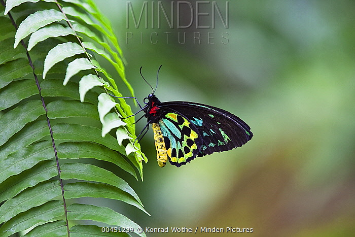 Common Green Birdwing (Ornithoptera priamus) butterfly male, Atherton Tableland, Queensland, Australia  -  Konrad Wothe