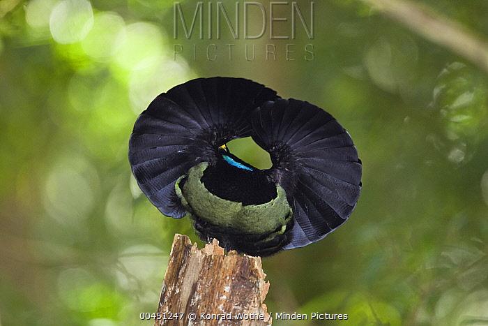 Victoria's Riflebird (Ptiloris victoriae) male displaying, Atherton Tableland, Queensland, Australia  -  Konrad Wothe