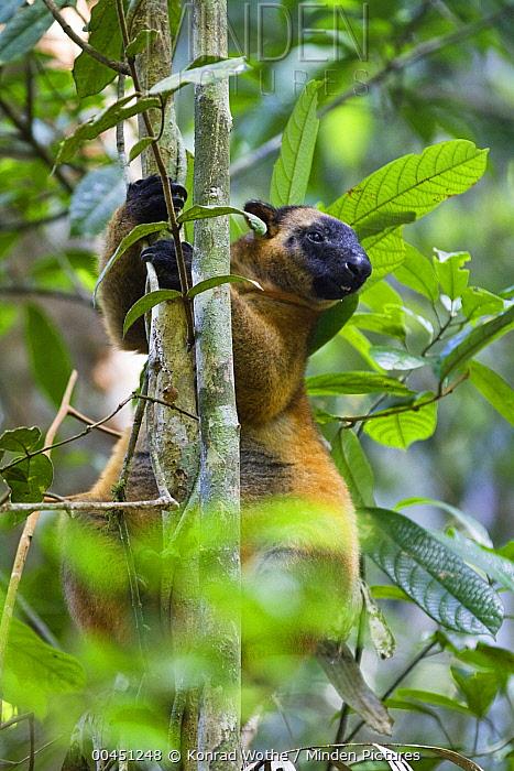 Lumholtz's Tree-kangaroo (Dendrolagus lumholtzi) in tree, North Queensland, Queensland, Australia  -  Konrad Wothe
