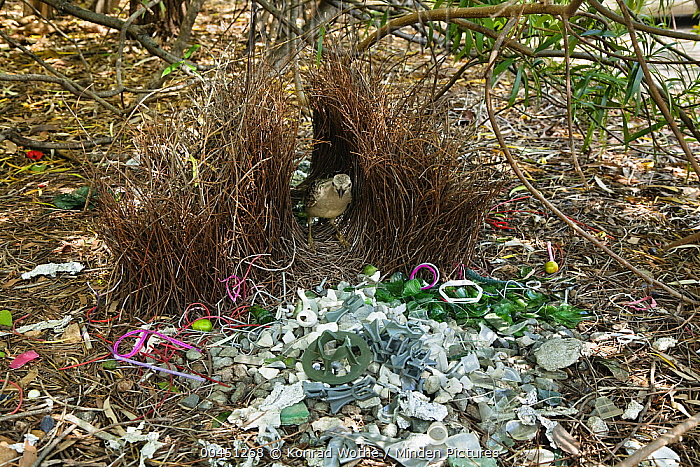 Great Bowerbird (Chlamydera nuchalis) male in bower with many plastic items, Townsville, Queensland, Australia  -  Konrad Wothe
