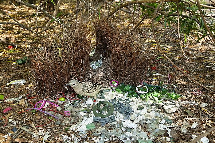 Great Bowerbird (Chlamydera nuchalis) male carrying plastic in bower, Townsville, Queensland, Australia  -  Konrad Wothe