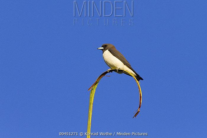 White-breasted Woodswallow (Artamus leucorynchus), Townsville, Queensland, Australia  -  Konrad Wothe