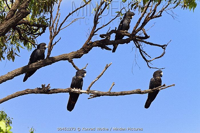 Red-tailed Black-Cockatoo (Calyptorhynchus banksii) females, Queensland, Australia  -  Konrad Wothe