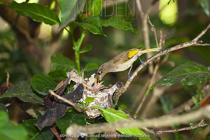 Brown Honeyeater (Lichmera indistincta) parent feeding chick at nest, Queensland, Australia  -  Konrad Wothe
