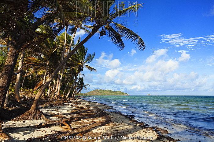 Coconut Palm (Cocos nucifera) group on Chili Beach, Iron Range National Park, Cape York Peninsula, North Queensland, Queensland, Australia  -  Konrad Wothe