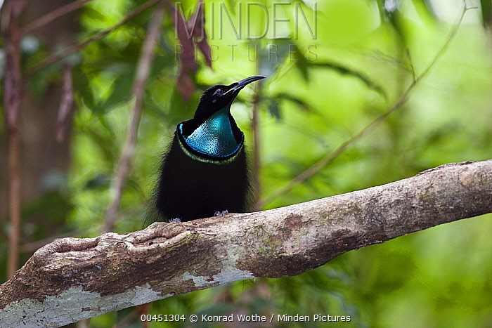 Magnificent Riflebird (Ptiloris magnificus) male, Iron Range National Park, Cape York Peninsula, North Queensland, Queensland, Australia  -  Konrad Wothe