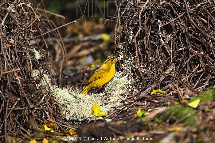 Golden Bowerbird (Prionodura newtoniana) male decorating his bower with flowers, Atherton Tableland, Queensland, Australia  -  Konrad Wothe