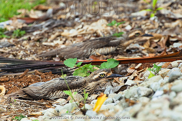 Bush Stone-curlew (Burhinus grallarius) pair camouflaged on stony ground, North Queensland, Queensland, Australia  -  Konrad Wothe