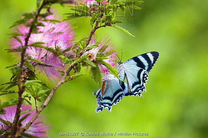 North Queensland Day Moth (Alcides metaurus) on flower, Atherton Tableland, Queensland, Australia  -  Konrad Wothe