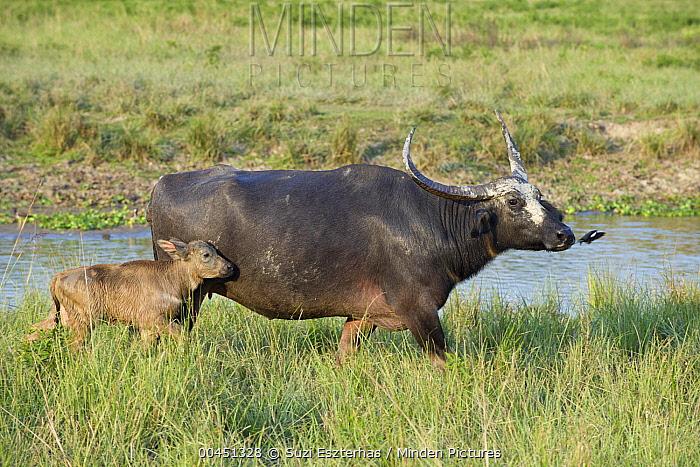 Water Buffalo (Bubalus arnee) mother and young calf, Kaziranga National Park, India  -  Suzi Eszterhas