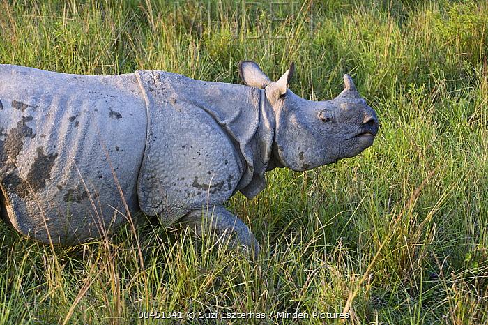 Indian Rhinoceros (Rhinoceros unicornis), Kaziranga National Park, India  -  Suzi Eszterhas