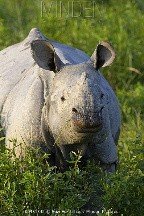 Indian Rhinoceros (Rhinoceros unicornis) grazing, Kaziranga National Park, India  -  Suzi Eszterhas