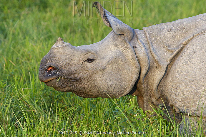 Indian Rhinoceros (Rhinoceros unicornis), Kaziranga National Park, India  -  Suzi Eszterhas