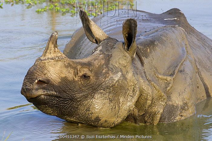 Indian Rhinoceros (Rhinoceros unicornis) male wallowing in muddy waterhole, Kaziranga National Park, India  -  Suzi Eszterhas