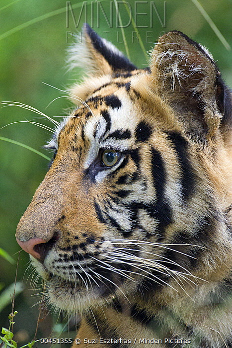Bengal Tiger (Panthera tigris tigris) one and a half year old cub, Bandhavgarh National Park, India  -  Suzi Eszterhas