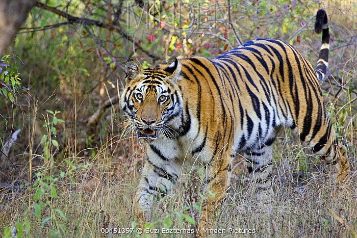 Bengal Tiger (Panthera tigris tigris), Bandhavgarh National Park, India  -  Suzi Eszterhas