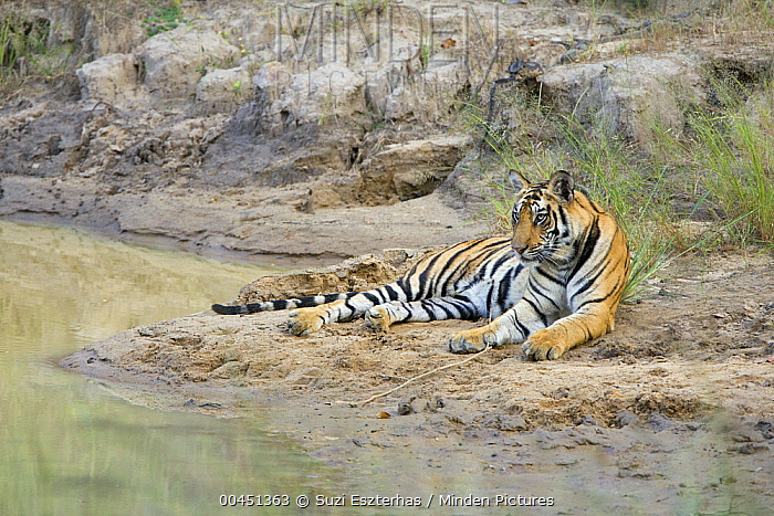 Bengal Tiger (Panthera tigris tigris) on shore, Bandhavgarh National Park, India  -  Suzi Eszterhas