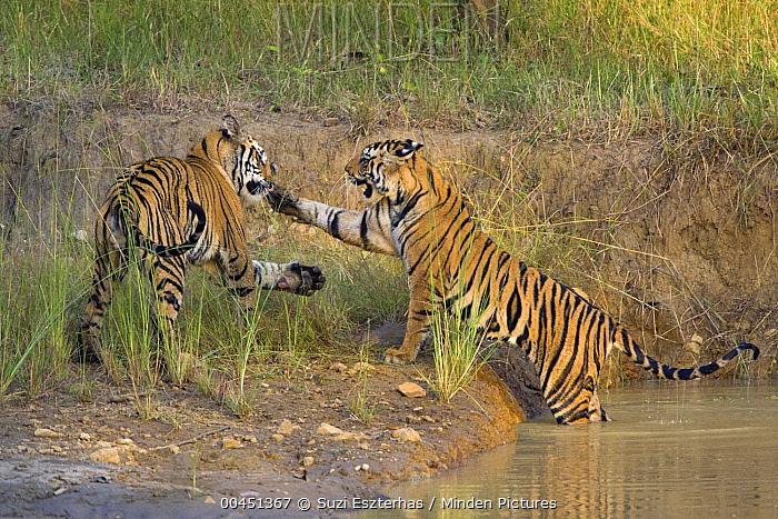 Bengal Tiger (Panthera tigris tigris) two year old cubs playing, Bandhavgarh National Park, India  -  Suzi Eszterhas