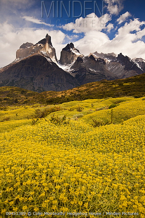 Thorny Matabarrosa (Mulinum spinosum) flowers, Torres Del Paine National Park, Patagonia, Chile  -  Colin Monteath/ Hedgehog House