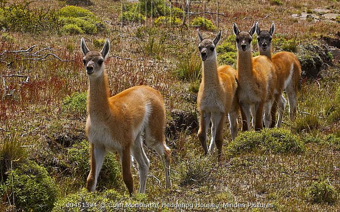 Guanaco (Lama guanicoe) young, Torres Del Paine National Park, Patagonia, Chile  -  Colin Monteath/ Hedgehog House