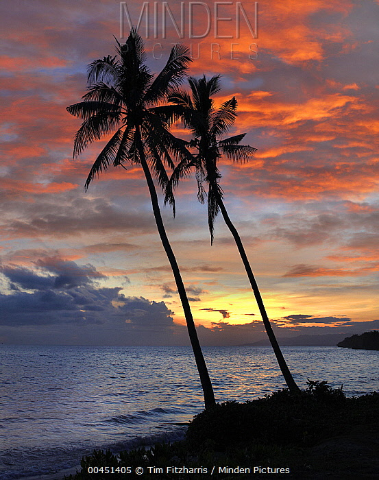 Coconut Palm (Cocos nucifera) trees at sunset at Bikini Beach, Panglao Island, Philippines  -  Tim Fitzharris
