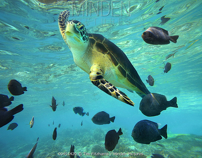Green Sea Turtle (Chelonia mydas), Balicasag Island, Philippines  -  Tim Fitzharris