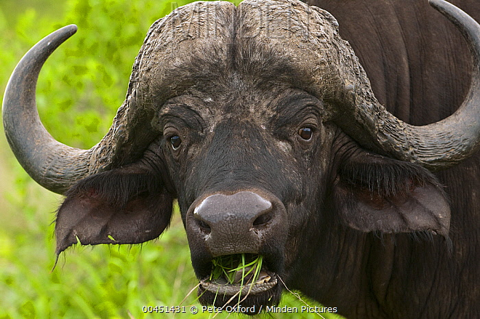 Cape Buffalo (Syncerus caffer) grazing, Kruger National Park, South Africa  -  Pete Oxford