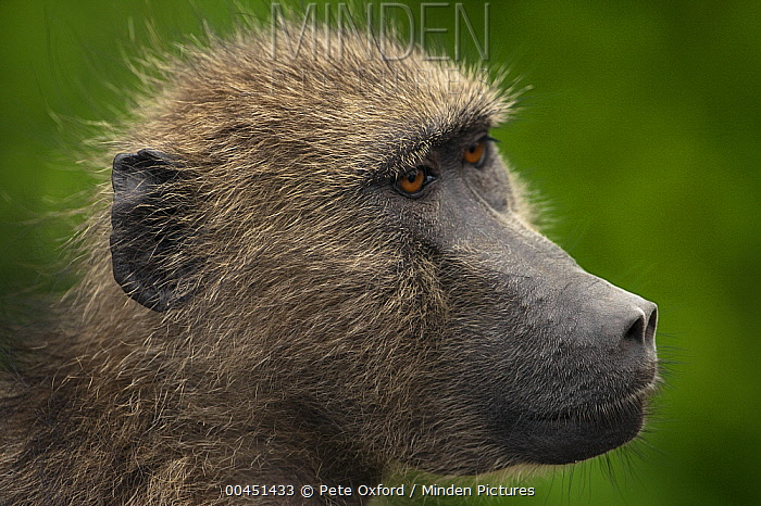 Chacma Baboon (Papio ursinus), Kruger National Park, South Africa  -  Pete Oxford