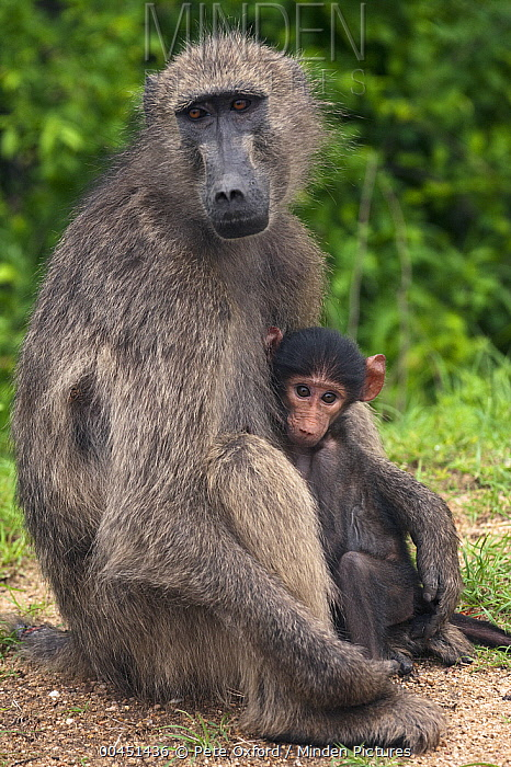 Chacma Baboon (Papio ursinus) baby nursing, Kruger National Park, South Africa  -  Pete Oxford