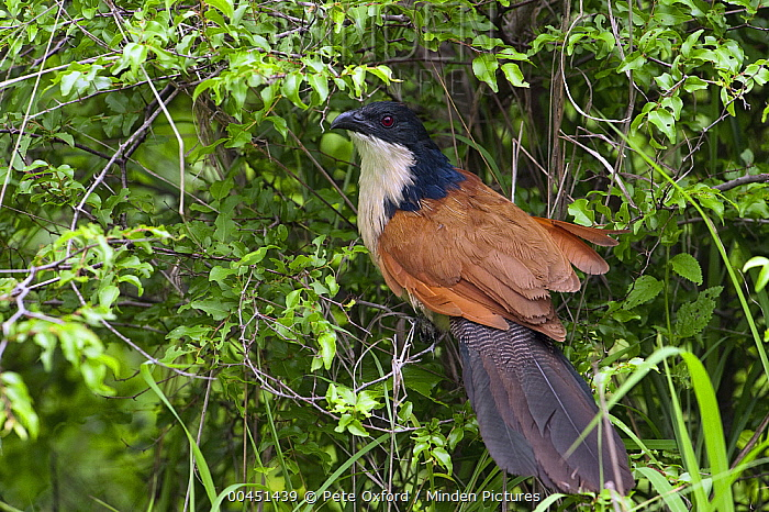 Burchell's Coucal (Centropus burchelli), Kruger National Park, South Africa  -  Pete Oxford