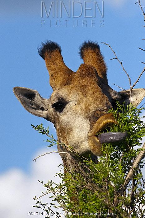 South African Giraffe (Giraffa giraffa giraffa) female browsing showing dark tongue, Kruger National Park, South Africa  -  Pete Oxford