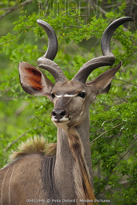 Greater Kudu (Tragelaphus strepsiceros) male, Kruger National Park, South Africa  -  Pete Oxford